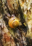 Χρυσό σαλιγκάρι κοχυλιών στο δέντρο Στοκ φωτογραφία με δικαίωμα ελεύθερης χρήσης