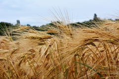Χρυσό σιτάρι ξηρό και έτοιμο για τη συγκομιδή Στοκ Εικόνες