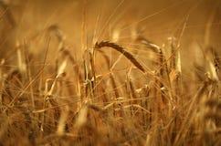 χρυσό σιτάρι Στοκ Φωτογραφία