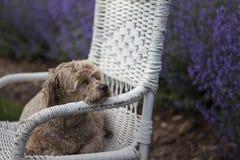 Χρυσό σκυλί στην ψάθινη καρέκλα και πορφυρό lavender στοκ εικόνες
