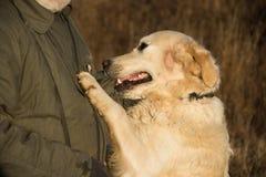 Χρυσό σκυλί retviever Στοκ Φωτογραφίες