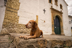 Χρυσό σκυλί Villa de Leyva Κολομβία Στοκ Φωτογραφίες