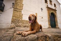 Χρυσό σκυλί vizsla Villa de Leyva Κολομβία Στοκ εικόνες με δικαίωμα ελεύθερης χρήσης