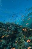 χρυσό σχολείο ψαριών τροπ& Στοκ Εικόνες
