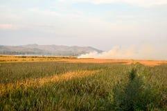 Χρυσό τοπίο τομέων ρυζιού Στοκ Εικόνες