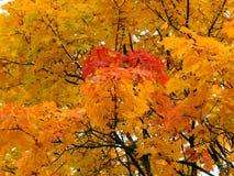 Χρυσό υπόβαθρο φθινοπώρου των κίτρινων φύλλων σφενδάμου σε έναν κλάδο Στοκ Φωτογραφίες