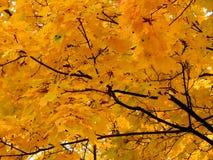 Χρυσό υπόβαθρο φθινοπώρου των κίτρινων φύλλων σφενδάμου σε έναν κλάδο Στοκ Φωτογραφία