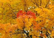 Χρυσό υπόβαθρο φθινοπώρου των κίτρινων φύλλων σφενδάμου σε έναν κλάδο Στοκ φωτογραφία με δικαίωμα ελεύθερης χρήσης
