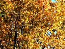 Χρυσό υπόβαθρο φθινοπώρου των κίτρινων φύλλων σφενδάμου σε έναν κλάδο Στοκ Εικόνες
