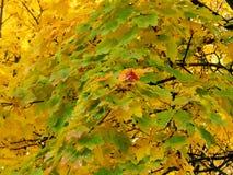 Χρυσό υπόβαθρο φθινοπώρου των κίτρινων φύλλων σφενδάμου σε έναν κλάδο Στοκ εικόνες με δικαίωμα ελεύθερης χρήσης
