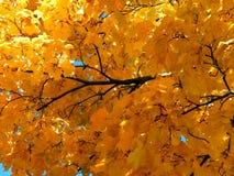 Χρυσό υπόβαθρο φθινοπώρου των κίτρινων φύλλων σφενδάμου σε έναν κλάδο Στοκ φωτογραφίες με δικαίωμα ελεύθερης χρήσης