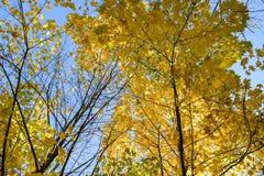 Χρυσό φθινόπωρο Δέντρο σφενδάμνου φθινοπώρου Στοκ Φωτογραφία