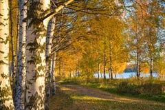 Χρυσό φθινόπωρο Δασικός δρόμος σε ένα άλσος σημύδων στοκ εικόνες