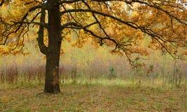 Χρυσό φθινόπωρο Διάδοση της κορώνας της βαλανιδιάς Στοκ Εικόνες