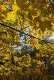 Χρυσό φθινόπωρο σφένδαμνος φύλλων πτώσης του Καναδά φθινοπώρου Στοκ Εικόνες