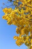 Χρυσό φθινόπωρο σφένδαμνος φύλλων πτώσης του Καναδά φθινοπώρου Στοκ φωτογραφία με δικαίωμα ελεύθερης χρήσης