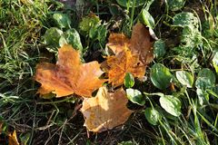 Χρυσό φθινόπωρο isolated leaf maple στοκ φωτογραφίες