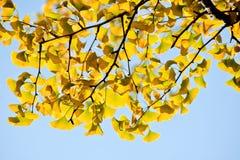 Χρυσό φύλλο ginkgo στοκ εικόνες