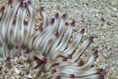 Χρυσό anemone Στοκ φωτογραφία με δικαίωμα ελεύθερης χρήσης