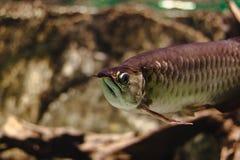 Χρυσό Arowana, ψάρια του παραδείσου Στοκ Εικόνες