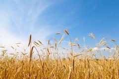 Χρυσό cornfield στη Γερμανία Στοκ φωτογραφίες με δικαίωμα ελεύθερης χρήσης