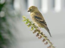 Χρυσό Finch που βρίσκει τους τελευταίους σπόρους της εποχής Στοκ Εικόνα