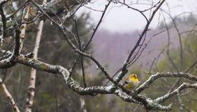 Χρυσό finch σκαρφαλωμένο στοκ εικόνα