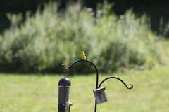 Χρυσό Finch Στοκ φωτογραφία με δικαίωμα ελεύθερης χρήσης