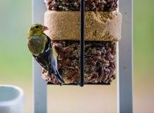 Χρυσό Finch στοκ εικόνα με δικαίωμα ελεύθερης χρήσης