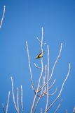Χρυσό Finch Στοκ φωτογραφίες με δικαίωμα ελεύθερης χρήσης
