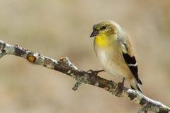 Χρυσό Finch (non-breeding) Στοκ φωτογραφία με δικαίωμα ελεύθερης χρήσης