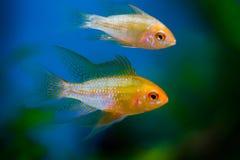 Χρυσό gourami ψαριών ενυδρείων Στοκ Εικόνες