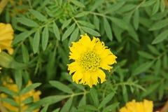 χρυσό marigold λουλουδιών Στοκ Εικόνες