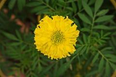 χρυσό marigold λουλουδιών Στοκ φωτογραφία με δικαίωμα ελεύθερης χρήσης