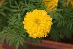 χρυσό marigold λουλουδιών Στοκ Εικόνα