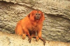 Χρυσό marmoset στοκ φωτογραφία με δικαίωμα ελεύθερης χρήσης