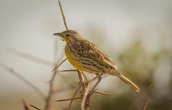 Χρυσό pipit πουλιών που λαμβάνεται στο δυτικό εθνικό πάρκο Κένυα Αφρική Tsavo Στοκ Εικόνες
