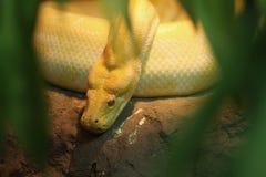 χρυσό python Ταϊλανδός Στοκ Εικόνες