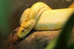 χρυσό python Ταϊλανδός Στοκ φωτογραφία με δικαίωμα ελεύθερης χρήσης