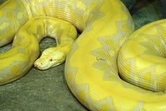 Χρυσό Python στοκ εικόνα με δικαίωμα ελεύθερης χρήσης