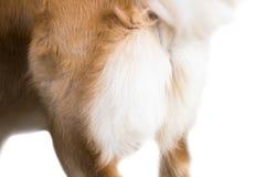 Χρυσό Retriever απομονώνει στο άσπρο υπόβαθρο, μπροστινή άποψη, που ψαλιδίζει την πορεία στοκ εικόνα