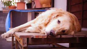 Χρυσό Retriever είναι αστείο σκυλί στην Ιαπωνία Στοκ εικόνες με δικαίωμα ελεύθερης χρήσης