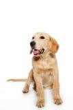 Χρυσό retriever κουτάβι σκυλιών που απομονώνεται στο λευκό Στοκ εικόνα με δικαίωμα ελεύθερης χρήσης