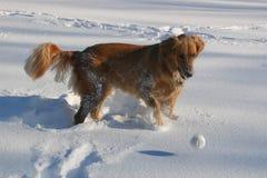 χρυσό retriever παιχνιδιών χιόνι στοκ εικόνες