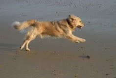 χρυσό retriever παραλιών τρέξιμο στοκ φωτογραφία