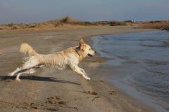 Χρυσό retriever που πηδά στην παραλία στοκ εικόνα