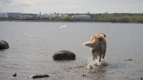 Χρυσό Retriever που χαράζει Seagull Στοκ Φωτογραφία
