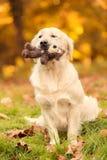 Χρυσό retriever σκυλί στη φύση μια ημέρα φθινοπώρου Στοκ Φωτογραφίες