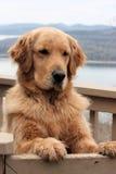 Χρυσό Retriever σκυλί Στοκ Φωτογραφία