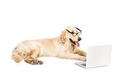 Χρυσό retriever σκυλί eyeglasses με το lap-top Στοκ εικόνες με δικαίωμα ελεύθερης χρήσης